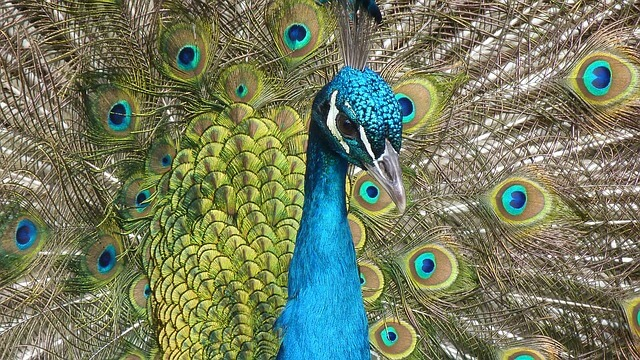 Peacock Essay in Hindi